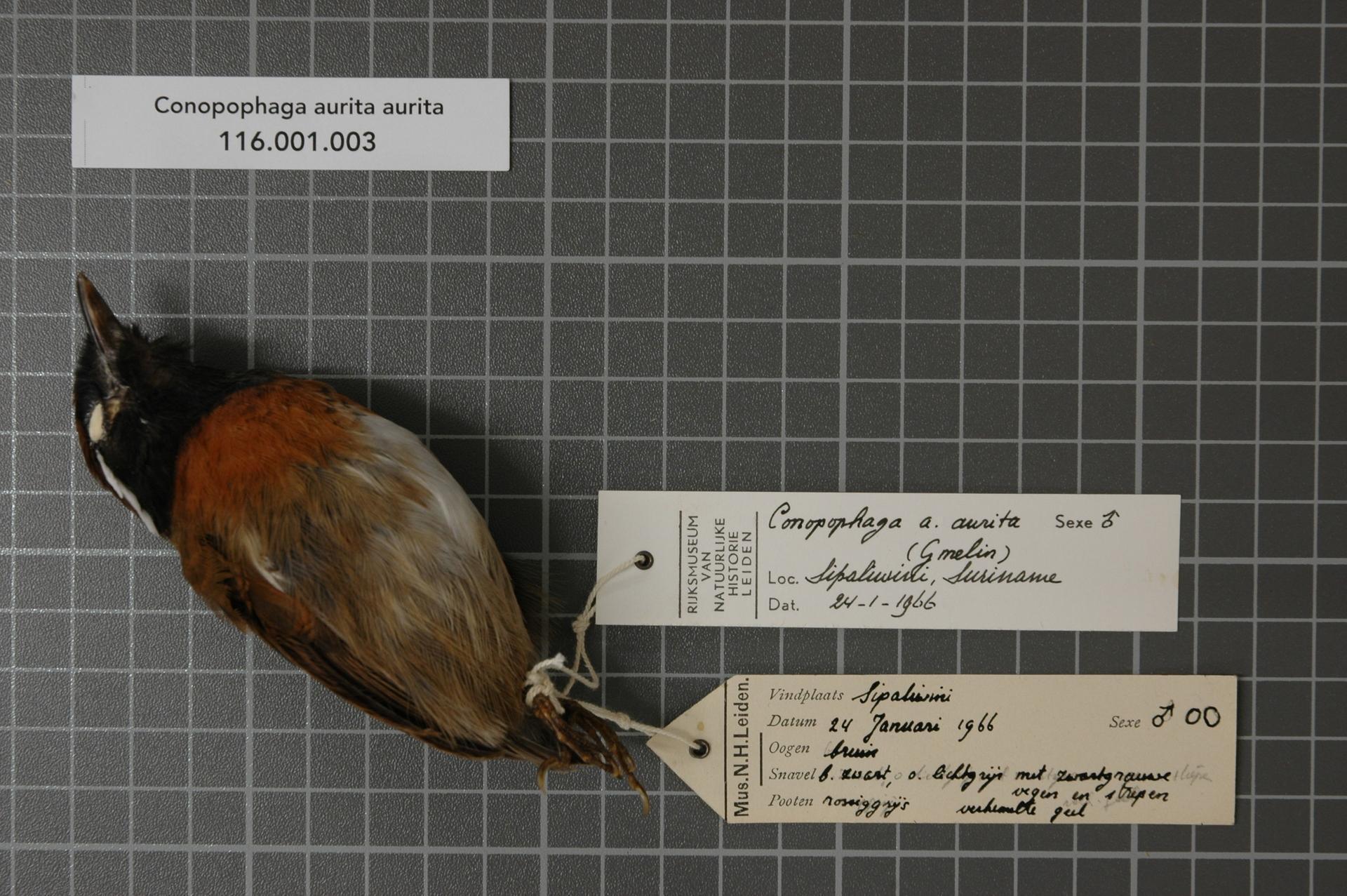 Image of chestnut-belted gnateater