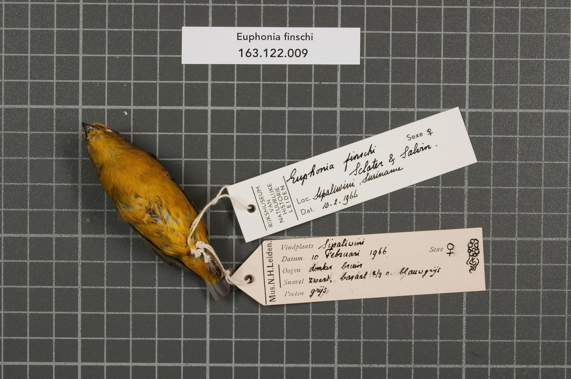 Image of Finsch's Euphonia