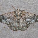 Image of Lophophelma erionoma