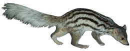 Image of Giant-striped Mongoose