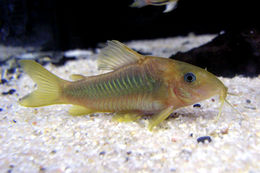 Image of green gold catfish
