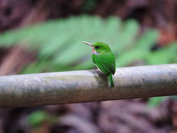 Image of Puerto Rican Tody