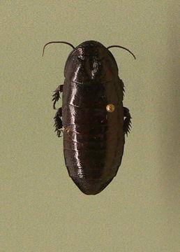 Image of <i>Cryptocercus garciai</i> Burnside, Smith & Kambhampati 1999