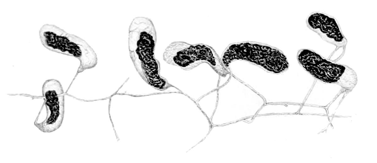 Image of <i>Geosiphon pyriformis</i> (Kütz.) F. Wettst. 1915