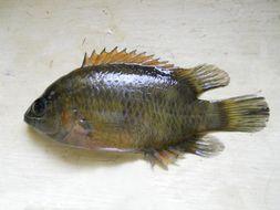 Image of <i>Pristolepis pentacantha</i> Plamoottil 2014