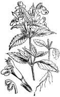 Image of Downy Hemp-nettle