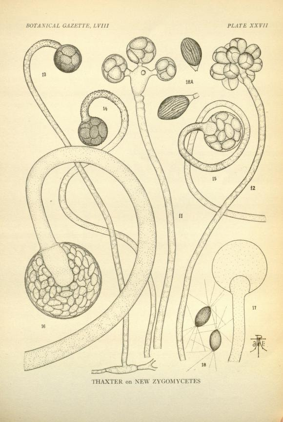 Image of Choanephoraceae