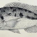 Image of <i>Tyrannochromis macrostoma</i> (Regan 1922)