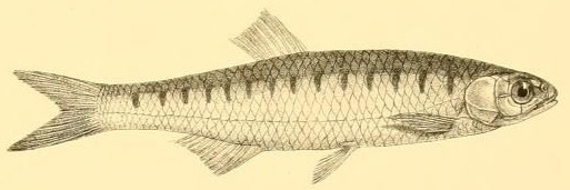Image of <i>Barilius barila</i> (Hamilton 1822)