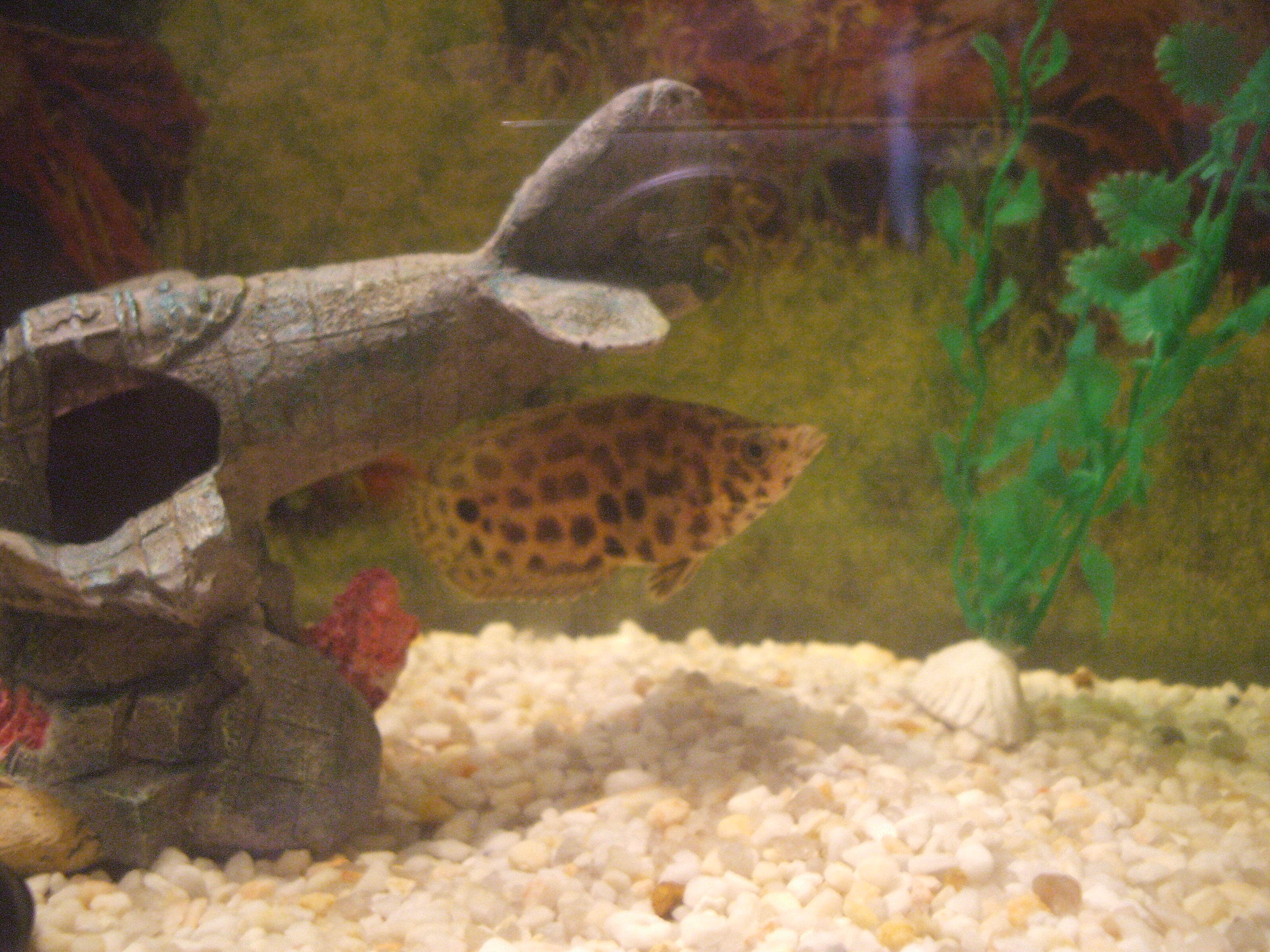 Image of Leopard Bushfish