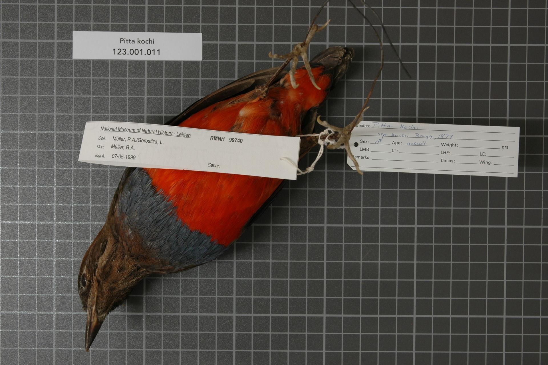 Image of Whiskered Pitta