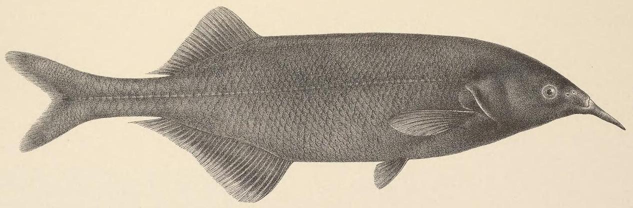 Image of Gnathonemus