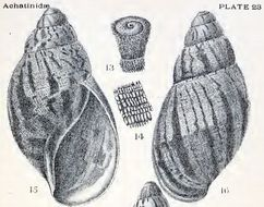 Image of <i>Archachatina camerunensis</i> d'Ailly