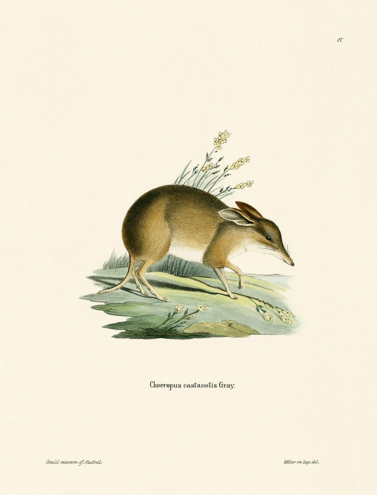 Image of Pig-footed Bandicoot