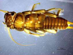 Image of Dinocras