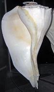 Image of <i>Sinistrofulgur sinistrum</i> (Hollister 1958)
