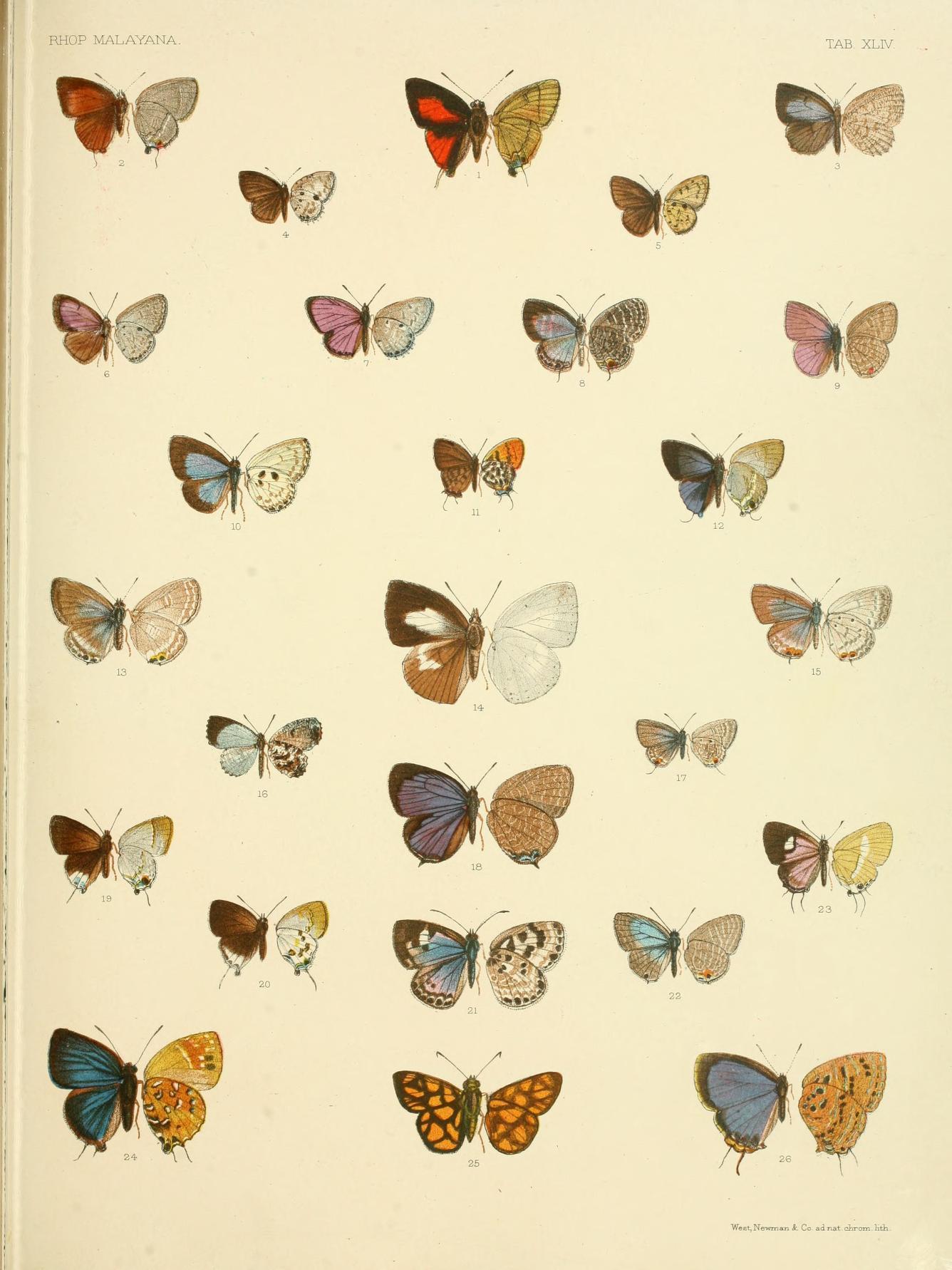 Image of <i>Una usta</i> (Distant 1886)