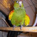 Image of Fiery-shouldered Parakeet