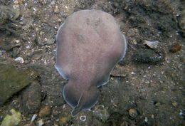 Image of Coffin Ray