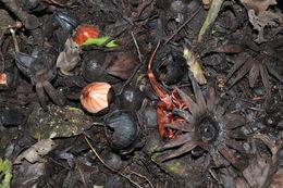 Image of Rhizanthes