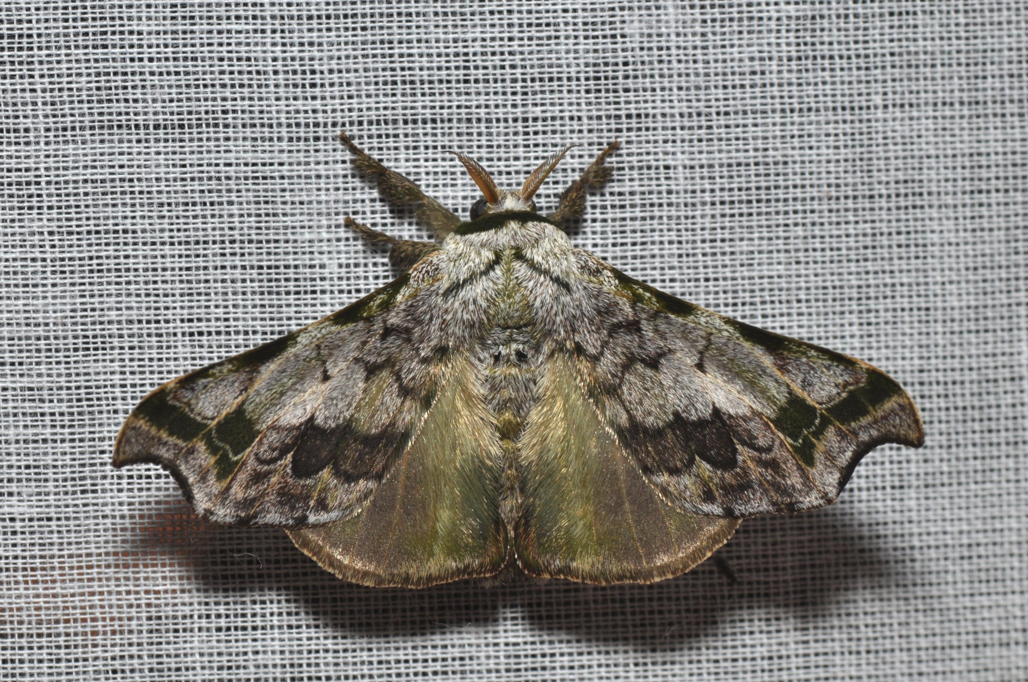 Image of Quentalia Schaus 1929