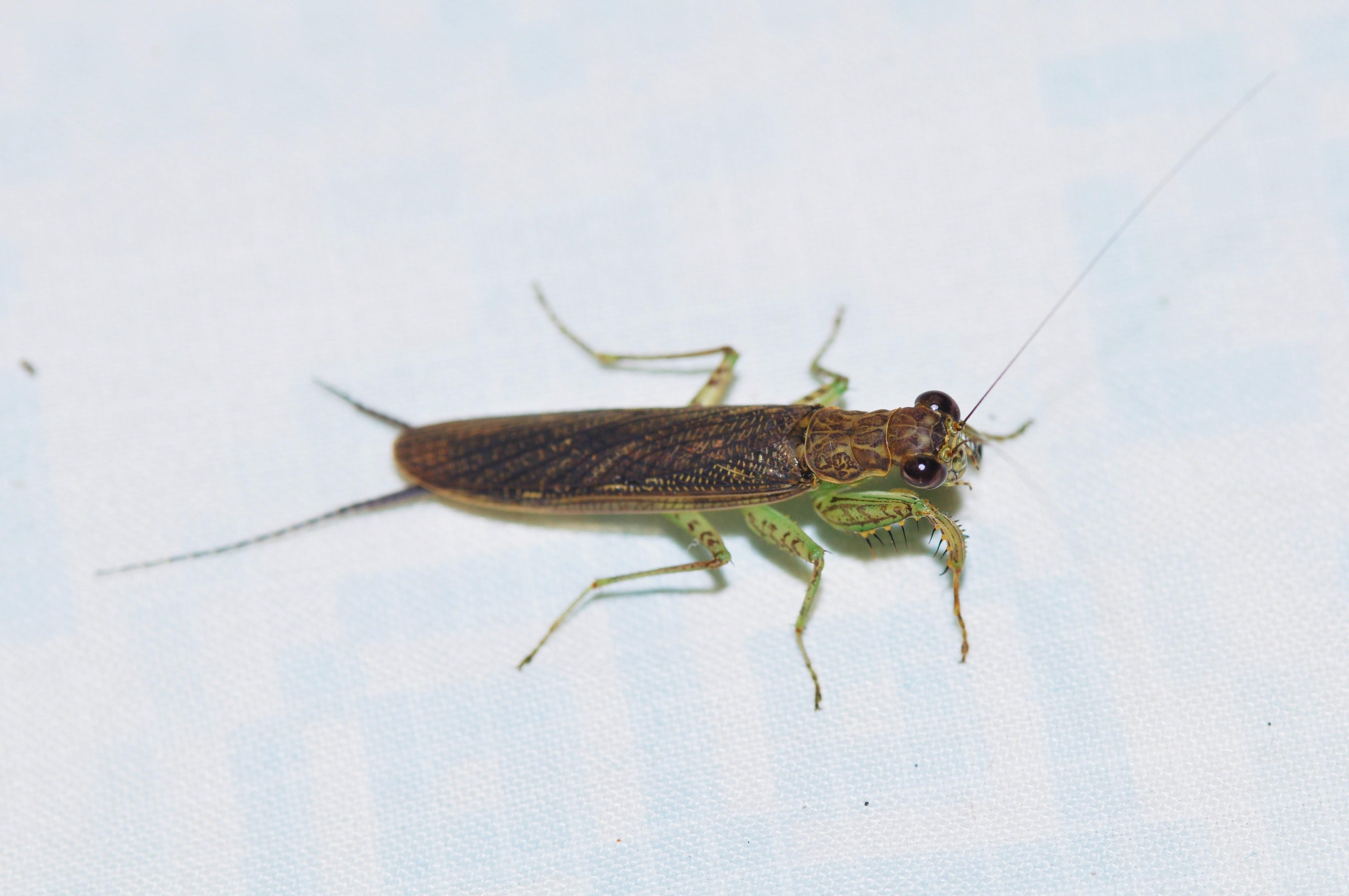 Image of Chaeteessa