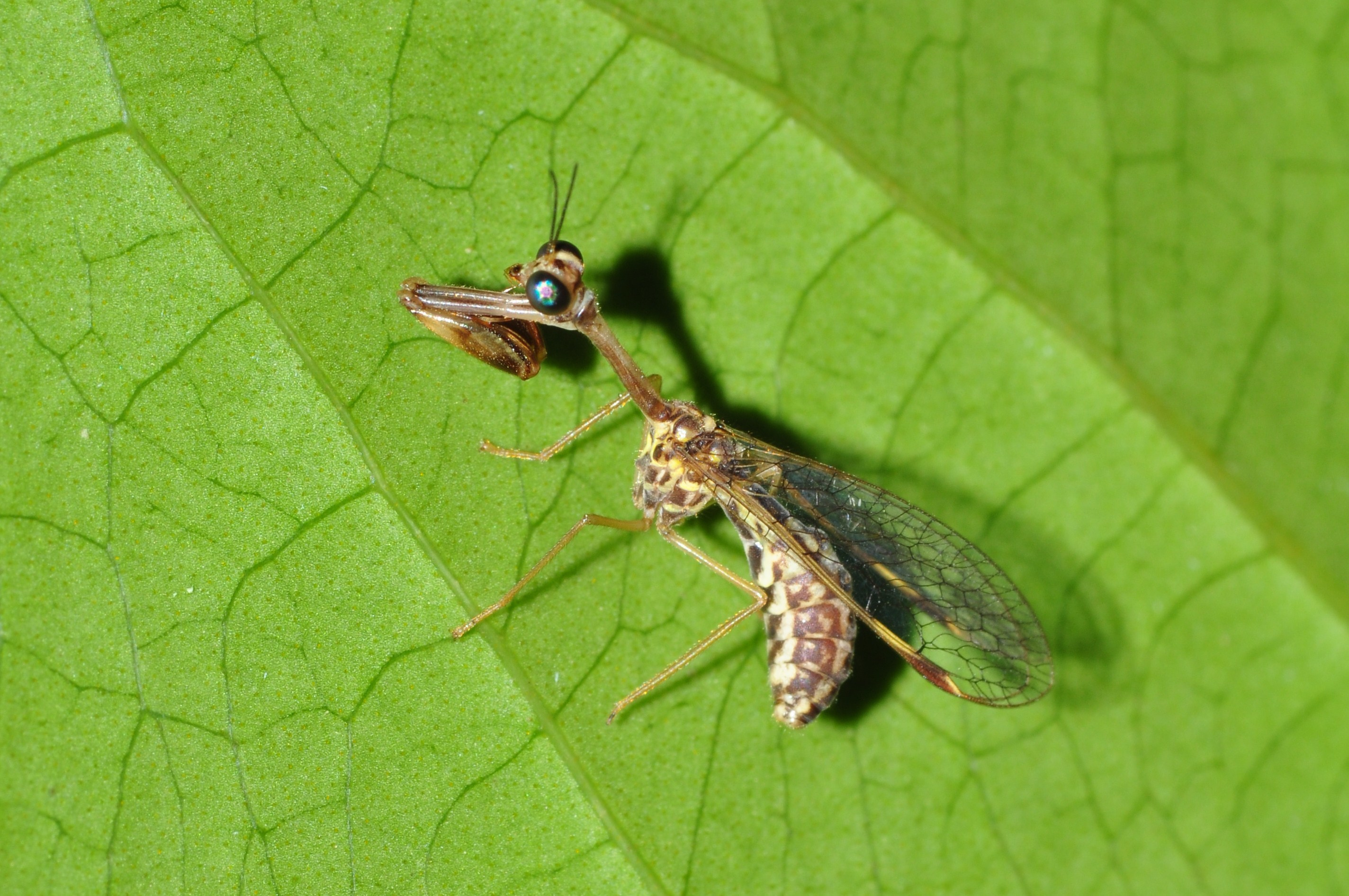 Image of mantidflies