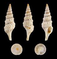 Image of <i>Lophiotoma acuta</i> (Perry 1811)