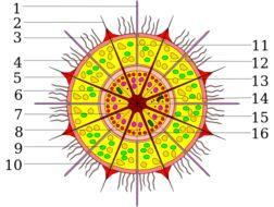 Image of Acantharea