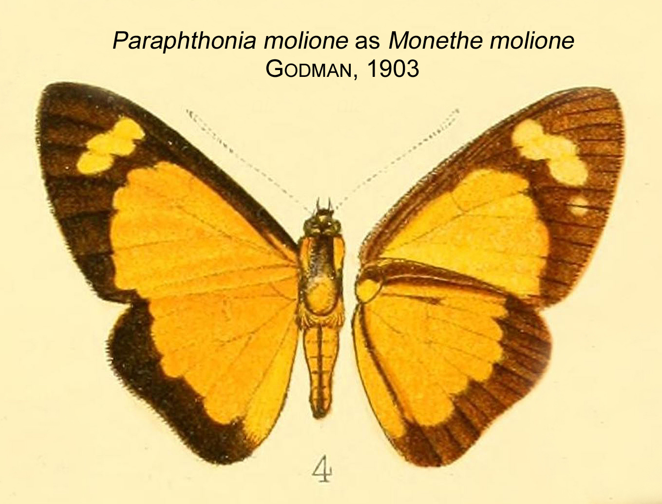 Image of Paraphthonia