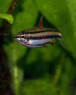 Image of Dwarf pencilfish