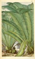 Image of ivory nut palm