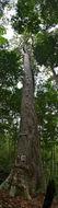 Image of <i>Dipterocarpus crinitus</i> Dyer