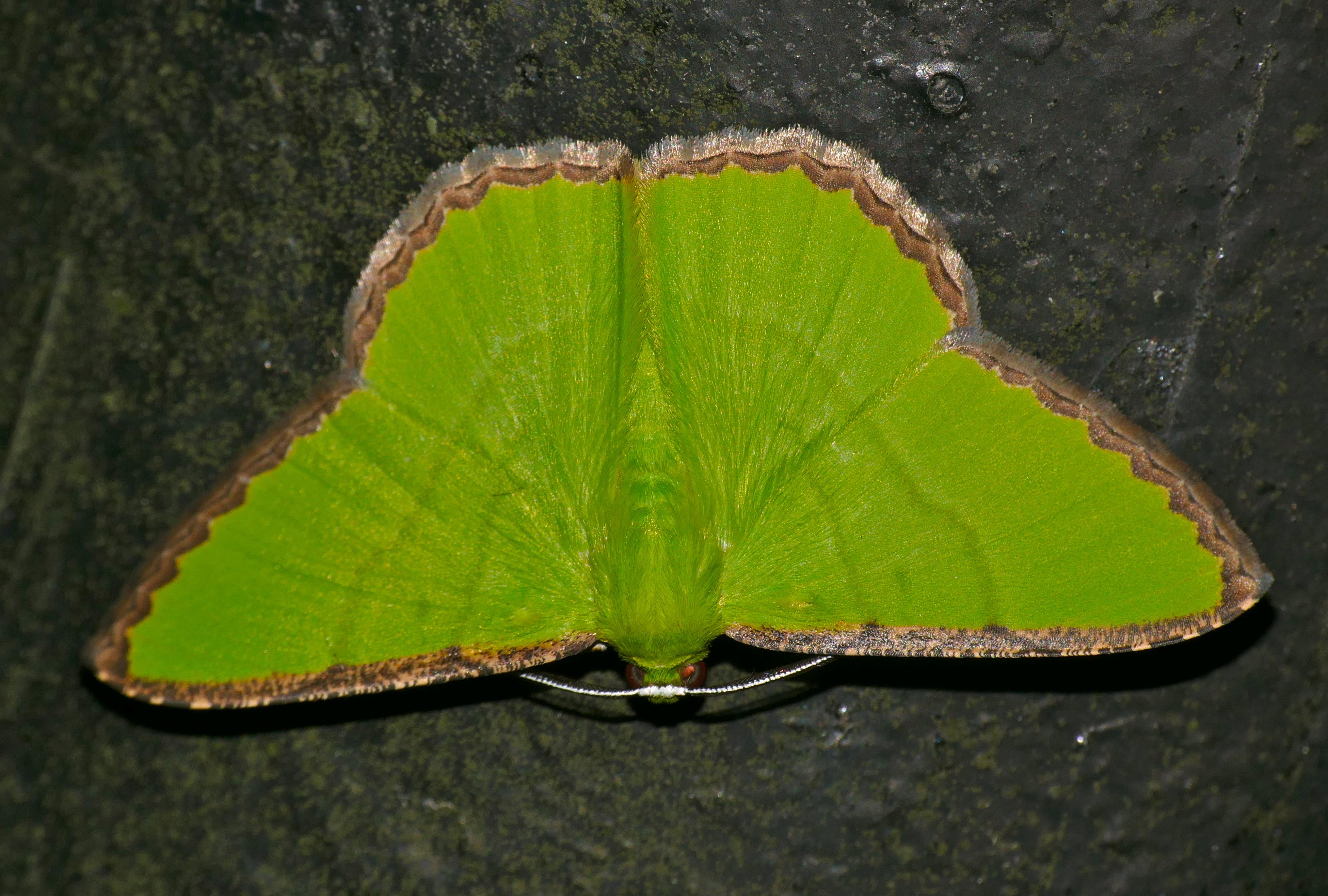 Image of Ornithospila