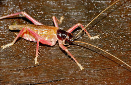 Image of raspy crickets