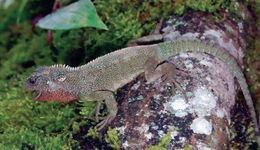 Image of Red-throated Woodlizard
