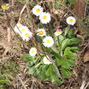 Image of Annual daisy