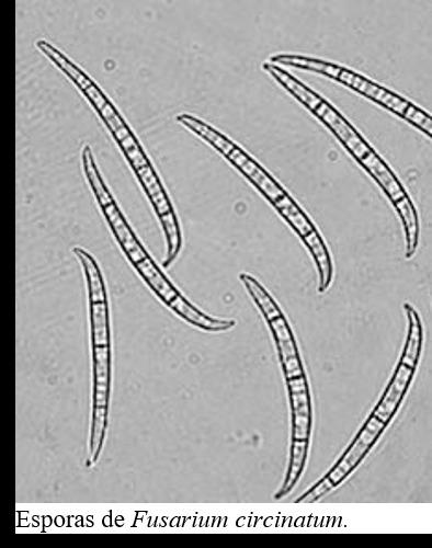 Image of Fusarium