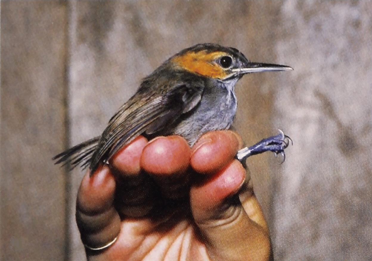 Image of Half-collared Gnatwren