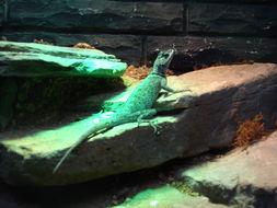 Image of Flathead Knob-scaled Lizard