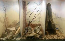 Image of Bogert's coral snake