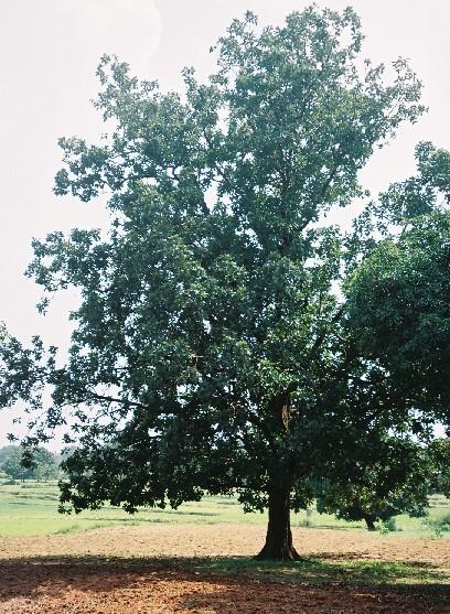 Image of mahua