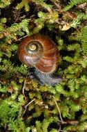 Image of <i>Powelliphanta augusta</i> K. Walker, Trewick & Barker 2008