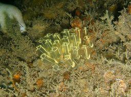 Image of Light bulb tunicate
