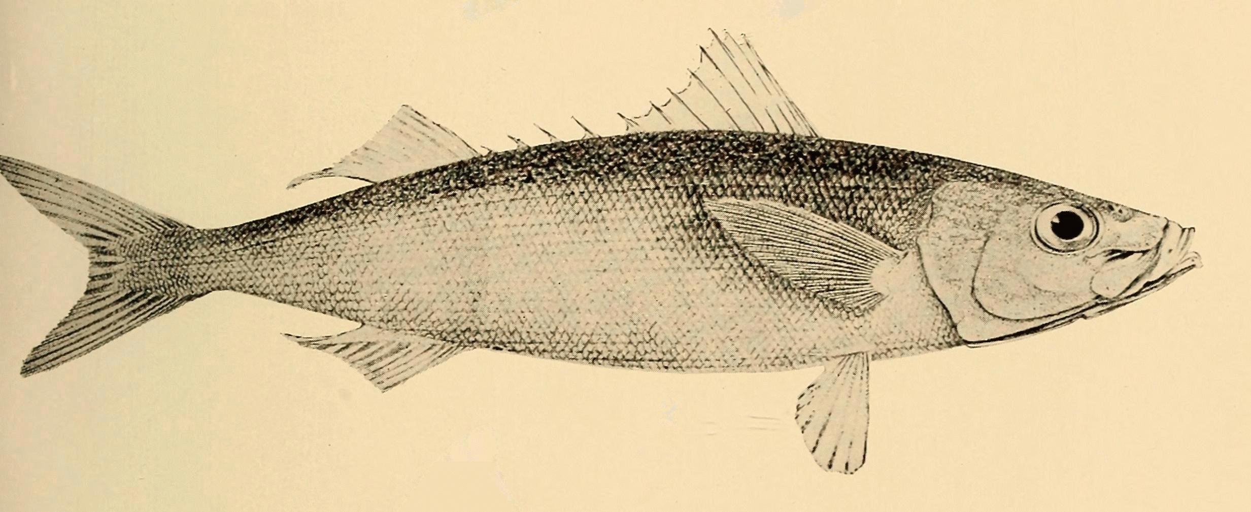 Image of <i>Emmelichthys nitidus</i> Richardson 1845