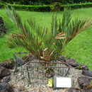 Image of Blyde River Cycad
