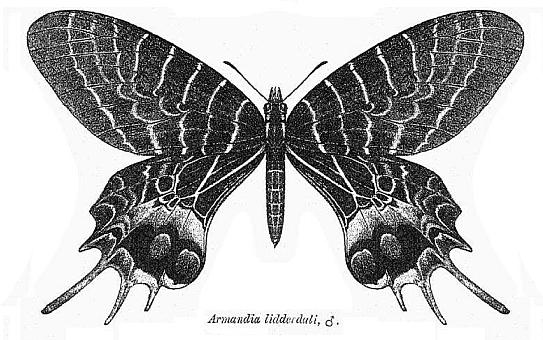 Image of <i>Bhutanitis lidderdalii</i> Atkinson 1873