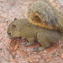 Image of Bangs's Mountain Squirrel