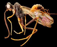 Image of aulacid wasps