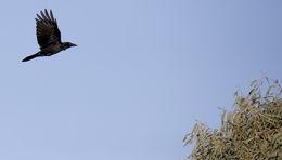 Image of Torresian Crow